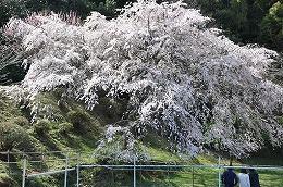 42  天神山の大しだれ桜.jpg