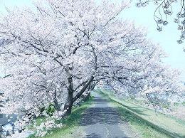 46 岡山4月11日桜 最後に見た桜.jpg