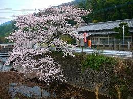 50 四月 名もなき桜.jpg