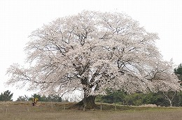 51 四月 才尾の一本桜.jpg