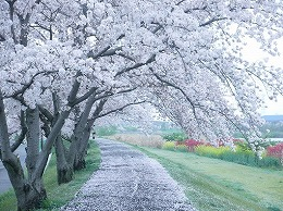 57 四月 土手の桜.jpg